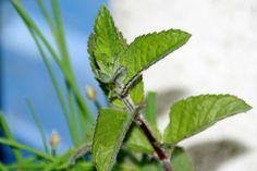 Japanisches Heilpflanzenöl - Das Heilöl für viele verschiedene Anwendungsbereiche im Gesundheitswesen. ✓ Wirkungen ✓ Anwendungsgebiete ✓ Inhaltsstoffe