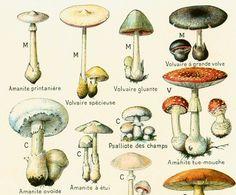 1912 Champignons Identification illustration par sofrenchvintage