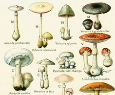 1912 Champignons Identification illustration par sofrenchvintage