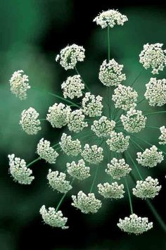 Ammi Majus (Bishop's flower) has lacy, white flowers, like a more delicate form of cow parsley. This one is one of our long-standing best sellers. Ammi Majus is the best white filler-foliage plant you can grow and spectacular arranged in a great cloud on its own. It forms larger, more prolific plants from an autumn sowing.      * Ammi majus     * Bishop's Weed     * H. 90cm 3ft     * Sow: March/April and/or late August/September
