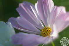 Cosmos bipinnatus - read more: http://www.jarekrak.com/1/post/2013/06/first-post1.html