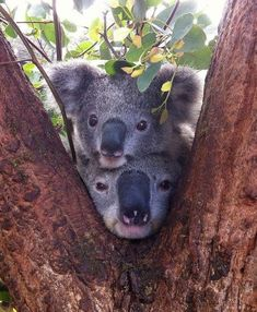 "Australian Native Koalas in the fork of a Eucalyptus ""Gum"" tree. They only eat the leaves of this type of tree."