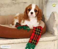 Cavalier King Charles Spaniel puppies are playful and affectionate. Discover your new best friend at Lancaster Puppies. Spaniel Puppies For Sale, Spaniel Dog, Cute Puppies, Cute Dogs, King Charles Dog, King Charles Spaniel, Cavalier King Charles, Dog Lady, Dogs For Sale
