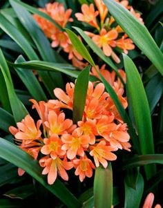 Clivia always reminds me of my granny's garden in the mountains...