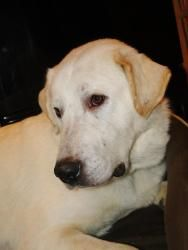 Lilah Kate is ready for her forever home. Lilah came into rescue when she was sick, scared and unsure of her self and everyone around her. She has since gotten healthy and happy, completed her heart worm treatment and has blossomed into a wonderful girl. Lilah Kate is a three year old lab/pyrenees mix who weighs in at 90 lbs. She has lovely eyes and it looks like she is wearing purple eyeliner. Her foster mom thinks she looks diving in this color and makes sure she has a lovely ...
