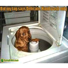 Come out and get dried off! #dogs #pets #Dachshunds Facebook.com/sodoggonefunny