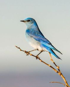 Mountain Bluebird.