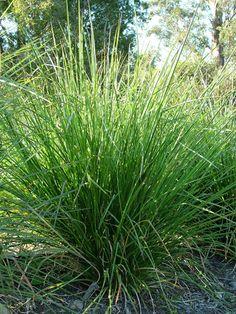 Vetiver, Vetiveria zizanioides  - sesquiterpenes, sesquiterpenols, ketones