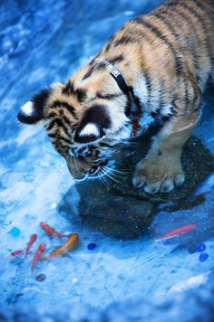 Full of curiosity! Notice his paws, tigers actually enjoy the water.
