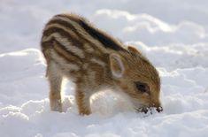 Wildschwein im Winter und Schnee