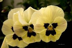 Yellow Pansy by Sam Sherman in WyomingSpring on Photography By Sherman's Store