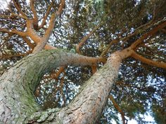 """""""Pine is an adrenal cortex stimulant and a very supportive medicine. I am a great fan of its essential oil, a drop rubbed onto the adrenal glands every morning for at the most seven days (three days is usually enough) to re-activate fatigued adrenals. Its 'cortisone-like' effect has a re-triggering action; the adrenals will then go on and function more fully independently."""" - Cathy Skipper on herbs for depression"""