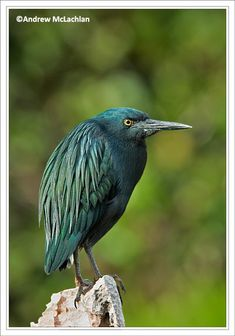 Melanistic/Genetic variant of Green Heron    As it would turn out the above image of the green heron is considered to be the first record for such abbarent plumage for green herons.