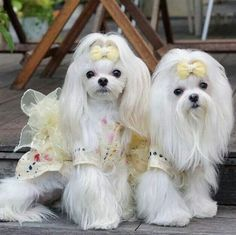 Beautiful #maltese
