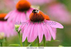 Purple coneflower (Echinacea purpurea) - Stock Image