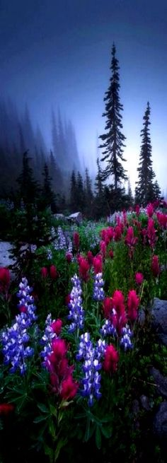 ♥♥ Lupines & Indian Paintbrush, Mt. Rainier National Park, Washington - *G-d's Footstool - Fields, Meadows and Pastures