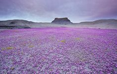 Acatama the miracle of the flowers in the desert (3)