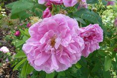 Thérèse Bugnet Rose Hedge, Rose Foto, Old Rose, Antique Roses, Hedges, Beautiful Roses, Pink Roses, Antiques, Gallery