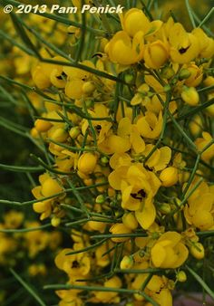 desert cassia, also known as desert senna or green feathery senna (Senna nemophila), an Australian native that is extremely heat and drought tolerant and hardy to perhaps 10F in dry regions, perhaps 20F in wetter climates.