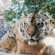 Il n'est pas superbe avec ses yeux vairons ? C'est une chance de pouvoir voir des animaux sauvages d'aussi près et en même temps ils seraient tellement plus heureux en liberté... #tigre #tiger #animal #zoo #zoodelabarben #labarben #paca #igerspaca #animaux #nature #picoftheday #photooftheday #tourismepaca