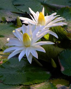 Two Lilies in the Sunlight - Paintings by John Lautermilch