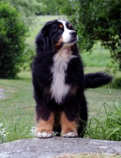 sorta like her dog companion Seafret but one of his eyes is missing and he has a few scars #BerneseMountainDog