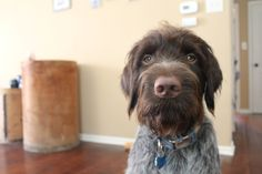 My little boy Draper, my wirehaired pointing griffon, the best puppy in the world