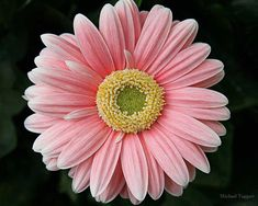 Simple Pretty Amazing Pictures Digital Download JPG Photo by Michael Taggart Photography flower pink gerbera daisy