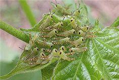 Grass hoppers .