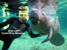 swim with crystal river manatees