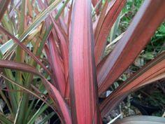 Phormium Pink Panther South Devon, Pink Panthers, All Plants, Seaside, Coastal, Ann, Backyard, Patio, Beach