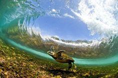 Eine Meeresschildkröte unter einer brechenden Welle. spiegel-online.de