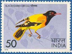 India - Black hooded Oriole (Oriolus Xanthornus)