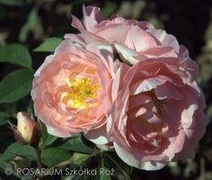 Maria Teresa® Wisteria, Plant