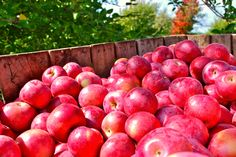 Apple Harvest Continues w/ Empire Apples!