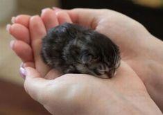手のひらで爆睡する子猫