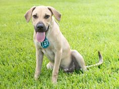 OPIE - ID#A468023 - URGENT - Harris County Animal Shelter in Houston, Texas - ADOPT OR FOSTER - 10 MONTH OLD Male Coonhound/Labrador Retriever Mix - at the shelter since Sep 12, 2016.