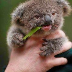 Things that make you go AWW! Koala Meme, Funny Koala, Cute Funny Animals, Cute Baby Animals, Animals And Pets, Happy Animals, Koala Baby, Cute Funny Babies, Funny Dogs
