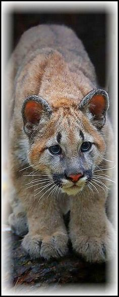 cute COUGAR CUB ( PUMA ) #photo by Ashley Hockenberry #mountain lion animal big cat wilderness wildlife nature