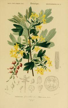 img/dessins couleur fleurs/dessin botanique de fleur 0167 groseiller dore - ribes aureum.jpg