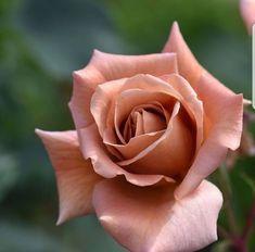 Vintage Flowers Wallpaper, Beautiful Flowers Wallpapers, Beautiful Rose Flowers, Pretty Roses, Exotic Flowers, Pretty Flowers, Pink Flowers, Rose Drawing Simple, Rose Reference