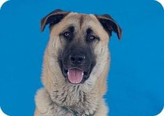 URGENT! AT HIGH KILL DOWNEY SHELTER! Pictures of OSO a German Shepherd Dog Mix for adoption in Pasadena, CA who needs a loving home.