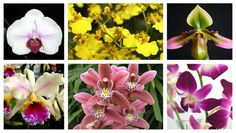 Members of the Orchidaceae family can be found just about everywhere these days, from the supermarket to home improvement stores.  The most popular examples are (above, clockwise from top left) Phalaenopsis, Oncidium, Paphiopedilum, Dendrobium, Cymbidium, and Cattleya.