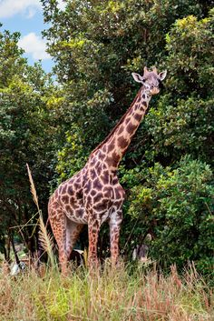 https://flic.kr/p/EGBXJV | An Afternoon Walk | Today's photo tour takes us to the Animal Kingdom for a shot of this tall fellow out for his afternoon walk. There is always one animal you are guaranteed to see on the Kilimanjaro Safari and that's the giraffe. You can really get some awesome close-up shots and you don't need a telephoto lens either. What's the one animal that you look forward to seeing while you're on the safari? Have a magical day!