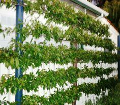 Espalier peach tree agaist wall