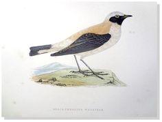 Morris Black Throated Wheatear 1892 History of British Bird Woodblock Engraving #Vintage123yearsold
