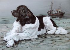 Newfoundland Limited Edition Print by Canine Artist Vic Granger