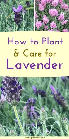 garden care yards Lavender is a perennial plant that is not only beautiful, but versatile. It can be used for crafts and home remedies! Learn how to plant and care for lavender plants with this helpful guide! Lavender Plant Care, Lavender Bush, Lavander, Caring For Lavender Plants, Uses For Lavender Plant, Lavender In Garden, Planting Lavender Outdoors, Rosemary Plant Care, Perennials