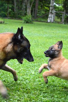Belgian Malinois Belgian Shepherd, German Shepherd Dogs, Belgium Malinois, Animal Heros, Belgian Malinois Dog, Cat Shaming, Me And My Dog, Reptile Cage, Reptile Enclosure