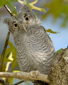 Owl Hathead Beings Pinterest Owl Bird And Animal - Meet the cuddly owl who loves landing on people